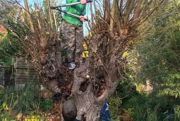 Welpen van 'de Hanzeluiden' helpen kinderboerderij met het knotten van de wilgen
